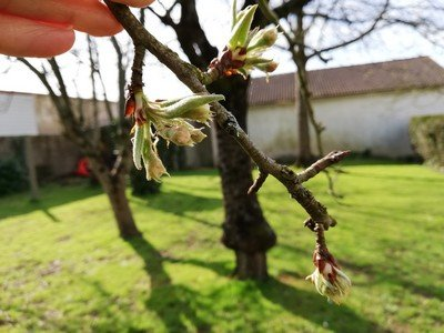 bourgeons-et-fleurs-du-poirier-2-stades-dévolution-1